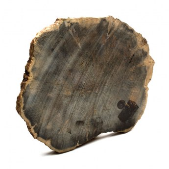 Polished slice of petrified wood